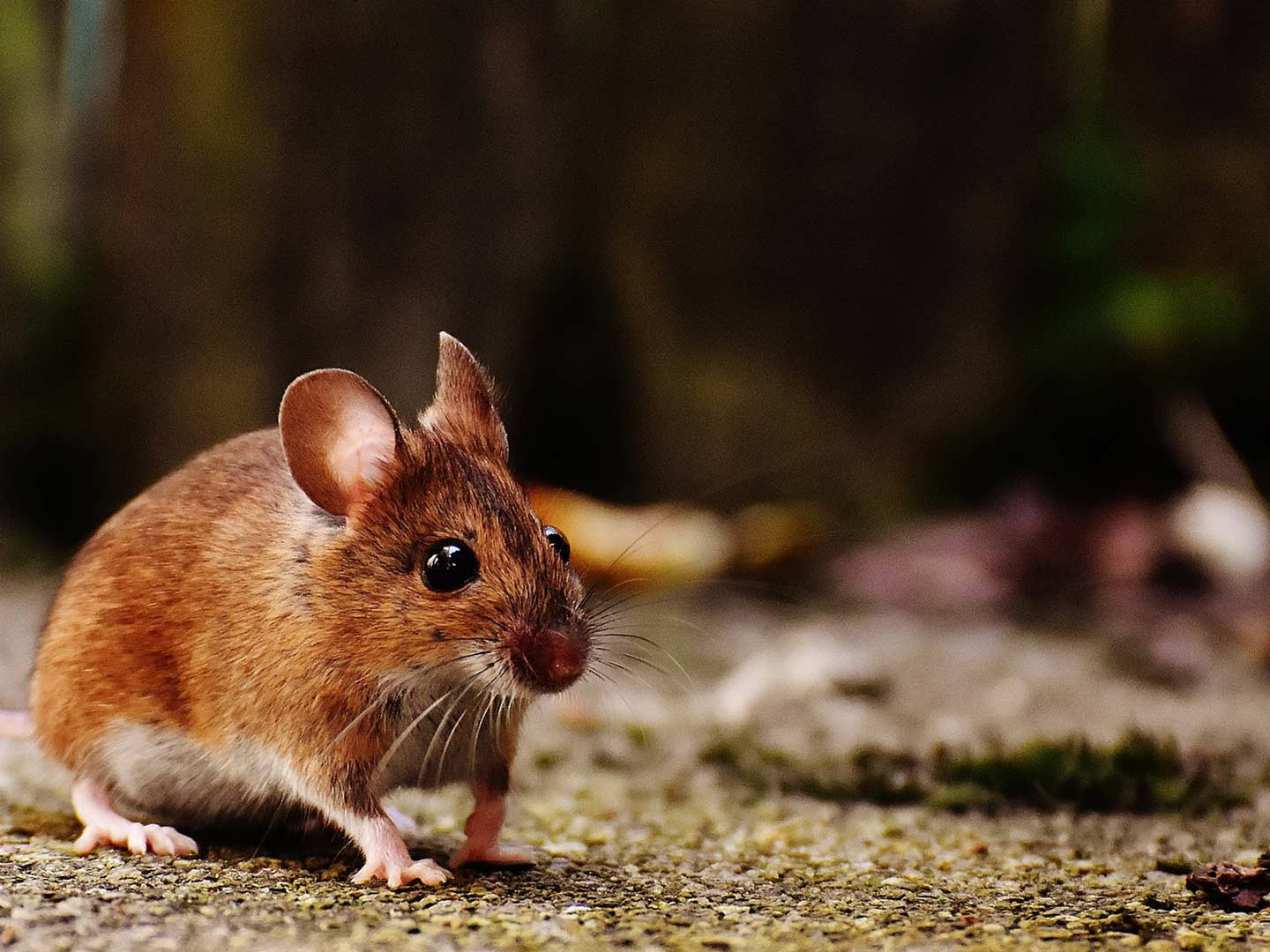 rodent control service laurel md